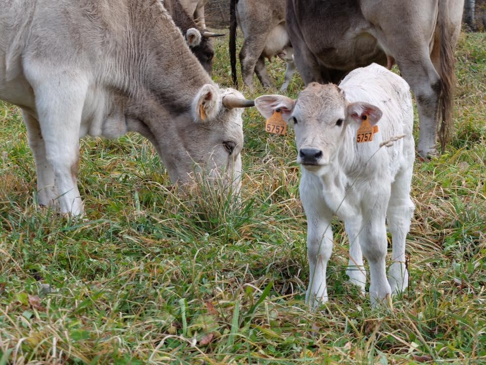 Les vaques de l'Hort del metge